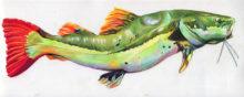 'Red Tail Catfish I' by Rosi Oldenburg