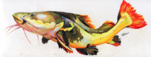 'Red Tail Catfish II' by Rosi Oldenburg